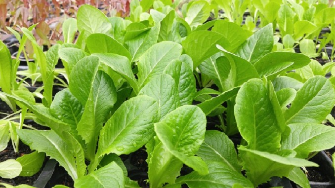 Are leafy green veggies party of your diet?