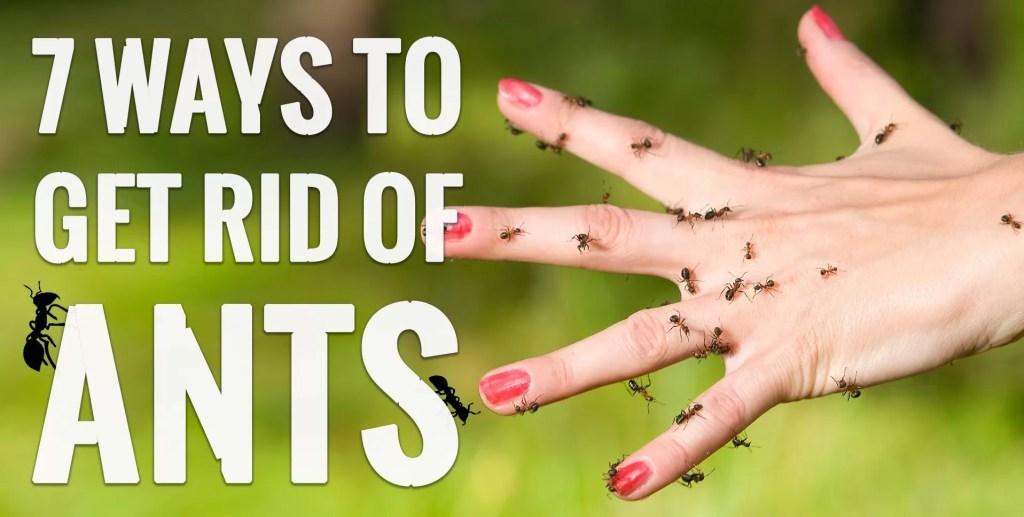 التخلص من النمل الاسود