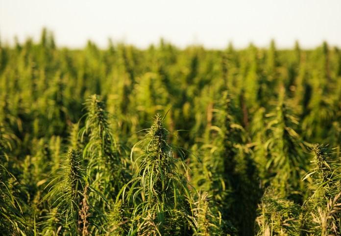 industrial hemp crop
