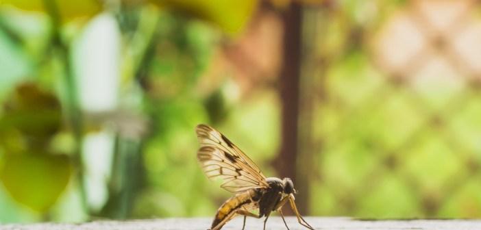 mosquito Zika virus