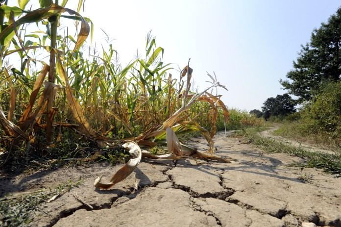 drought-in-corn-field