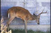 CWD deer