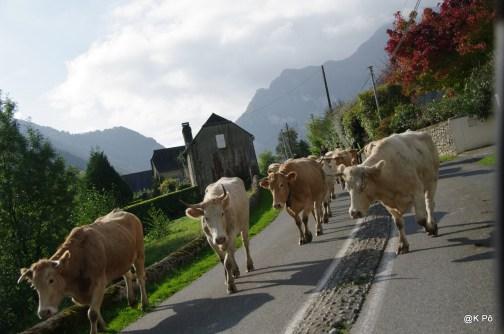 vaches se rendant à la mairie d'Arthez d'Asson