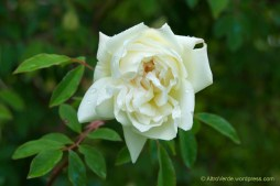 rosa '(not) Park's yellow tea-scented china'