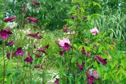 Rosa gallica Belle des Jardins with penstemon 'Blackbird'