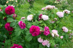 rosa rugosa Ruskin and Jacques Cartier