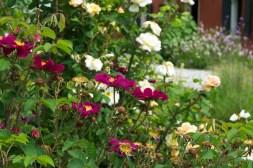 rosa gallica Violacea and rosa Golden Moss, behind