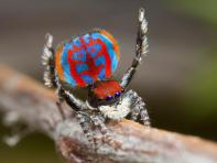 A specimen of the newly-discovered Australian Peacock spider, Maratus Bubo, shows off his colourful abdomen in this undated picture from Australia. Jurgen Otto/Handout via REUTERS ATTENTION EDITORS - THIS IMAGE WAS PROVIDED BY A THIRD PARTY. EDITORIAL USE ONLY NO RESALES. NO ARCHIVE. TPX IMAGES OF THE DAY