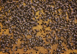 local-honey-bee-removal-albuquerque-a24-505-500-4780