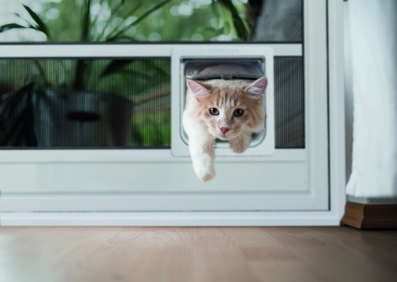 CREAM TABBY MAINE COON CAT PASSING THROUGH CAT FLAP IN THE WINDOW