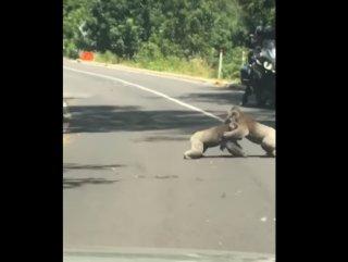 Avustralya'da iki koala yol ortasında güreşti
