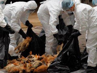 Güney Kore kuş gribi: 650 bin hayvan itlaf edildi
