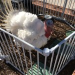 """A live and happy turkey cheers on Saintsmen to run """"his race"""", in the tradition of previous Trots"""