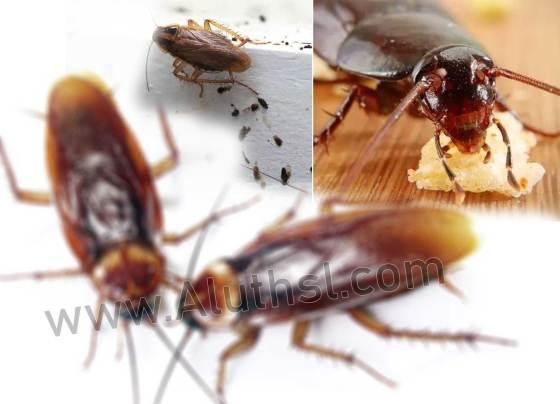 Cockroach-(කැරපොත්තා)
