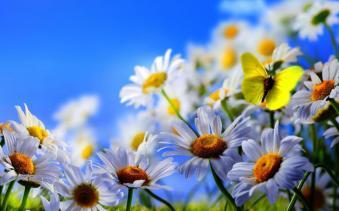 Mariposa atraída por la flor de la manzanilla (Chamaemelum nobile)