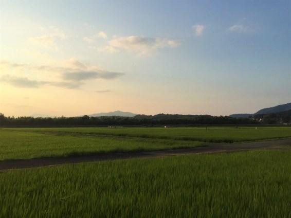 Rice Paddies in Evening
