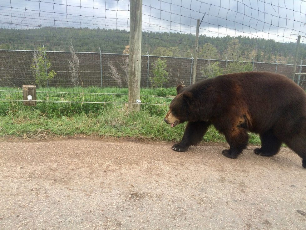 A black bear walking along a road next to a fence