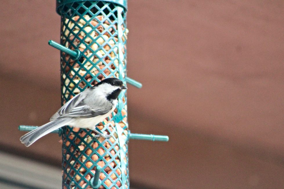 A black-capped chickadee perched on a tube feeder filled with unshelled peanuts.