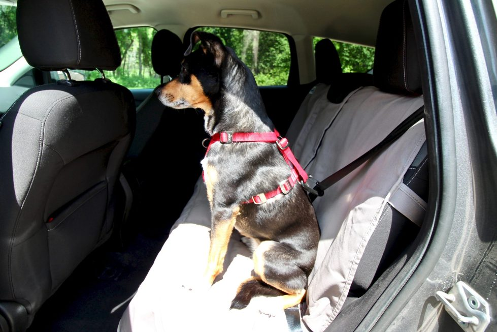 A shepherd dog wearing a red safety harness, sitting in the back seat of a car, facing forward and buckled in.