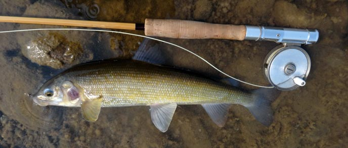Whitefish are maligned but they can save the day in the end. They are also an indication on the health of the stream.