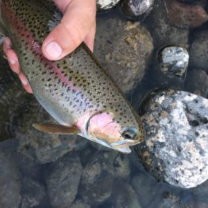 A hand holding a Rainbow trout from the Wallowa River just above the water