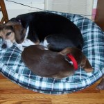 Sheba and Cocoa sharing a bed