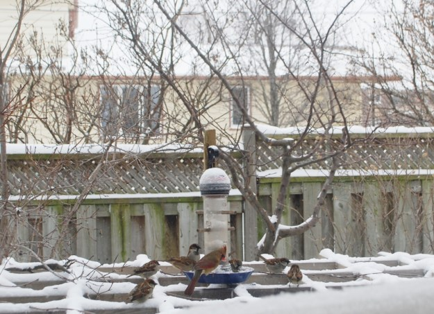 Female Cardinal and other birds