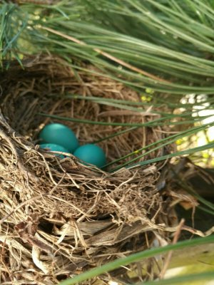 3 new Robin eggs