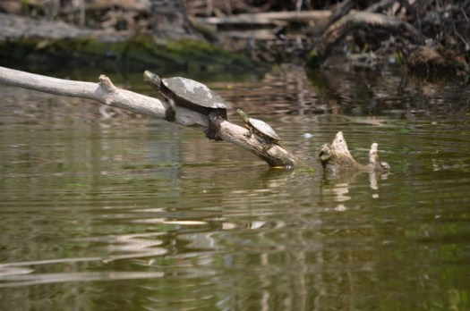 Turtles catching some sunlight.