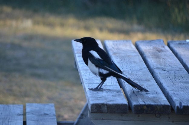 A picture of a magpie