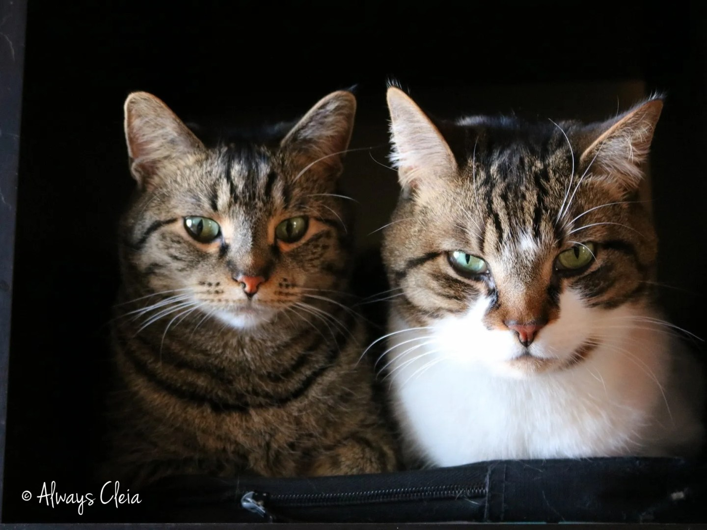 Quantum & Ion | Domestic Short Hairs