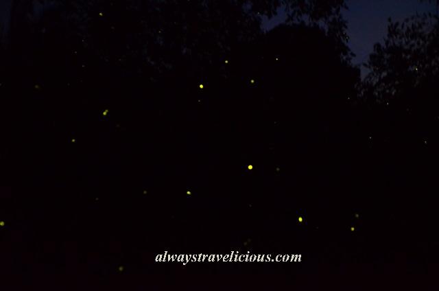 firefly Kuala Selangor 7