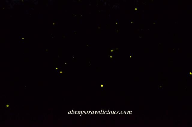 firefly Kuala Selangor 8