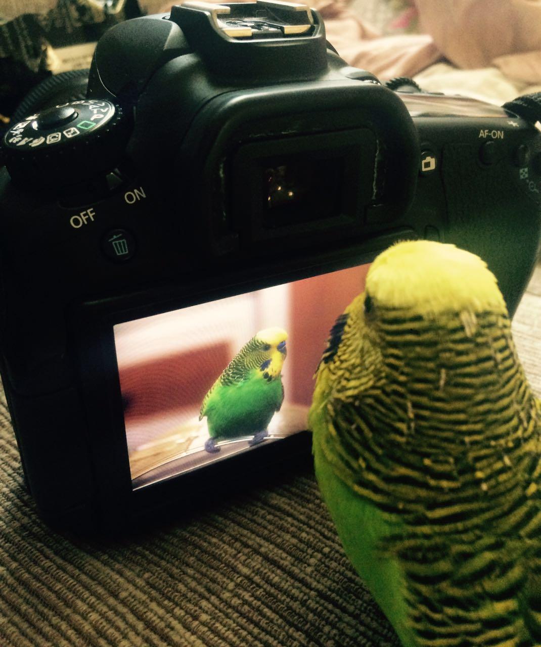 Kendisini Pikaçu Sanan Muhabbet Kuşu