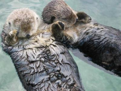 Su samurları el ele tutuşarak uyuyorlar.