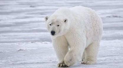 Karda gizlenmeye çalışan bir kutup ayısı, siyah burnunu pençesiyle kapatır.