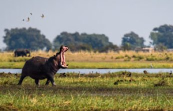 Hippo Dream Meaning | Dreaming of A Hippopotamus