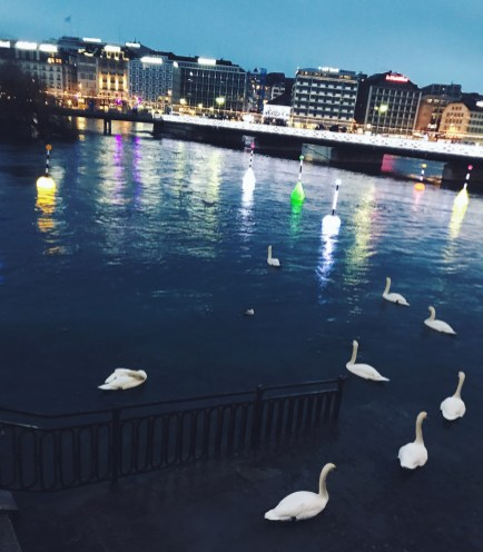 Swans on Lake Geneva
