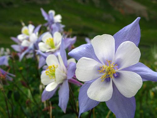 colorado-state-flower-Rocky-Mountain-Columbine ...