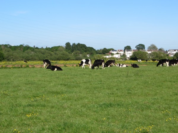Exeter cows, walking trail