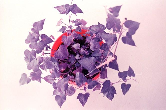 potato plant - lomochrome purple