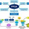アルツハイマー病発症因子 プロテインホスファターゼ2A