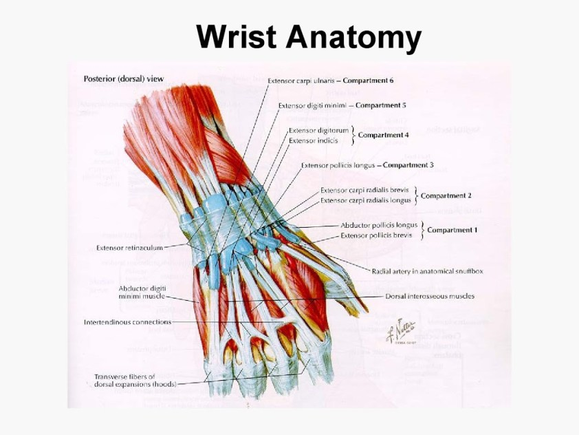 Upper extremity anatomy - arteries , veins , muscles - Am ...