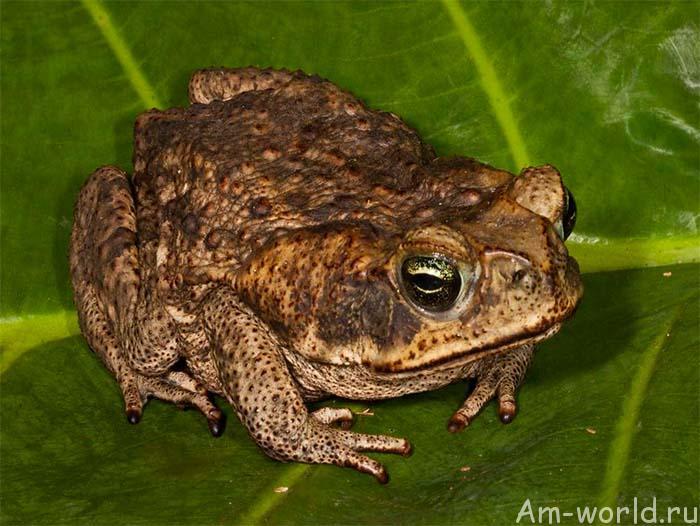 Секрет бессмертия в жабе