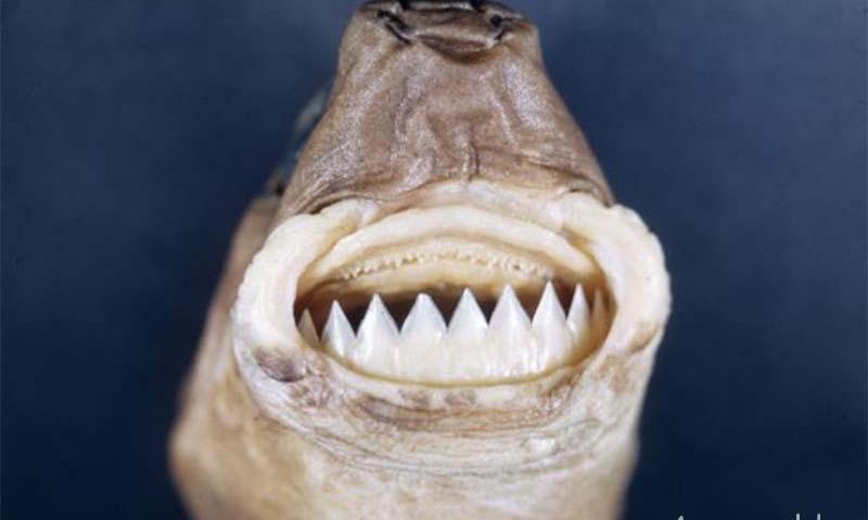 светящаяся акула