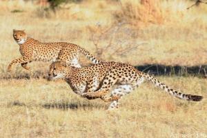 Гепард не совсем кошка