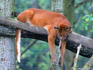 Золотая кошка Темминка