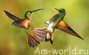 Колибри - маленькая птичка с большим сердцем