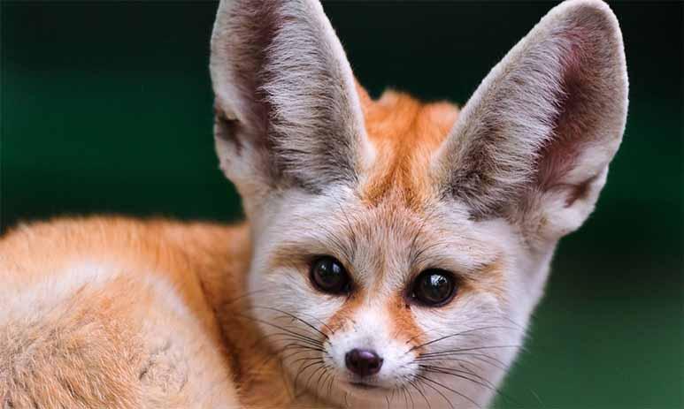 """Фенек - """"плюшевая"""" степная лисица"""