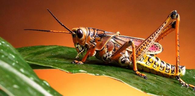 Кузнечик - насекомое или животное